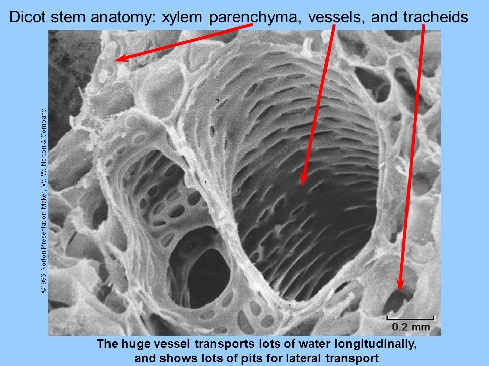 ©1996 Norton Presentation Maker, W. W. Norton & Company Dicot stem anatomy: xylem parenchyma, vessels, and tracheids The huge vessel transports lots o