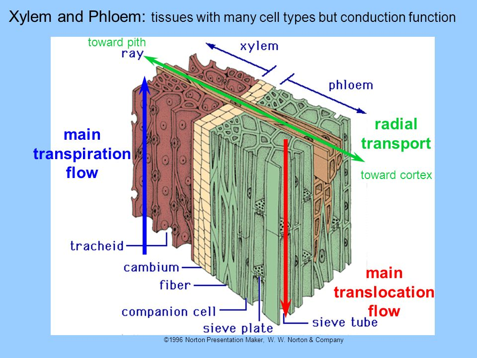 ©1996 Norton Presentation Maker, W. W. Norton & Company Xylem and Phloem: tissues with many cell types but conduction function main transpiration flow