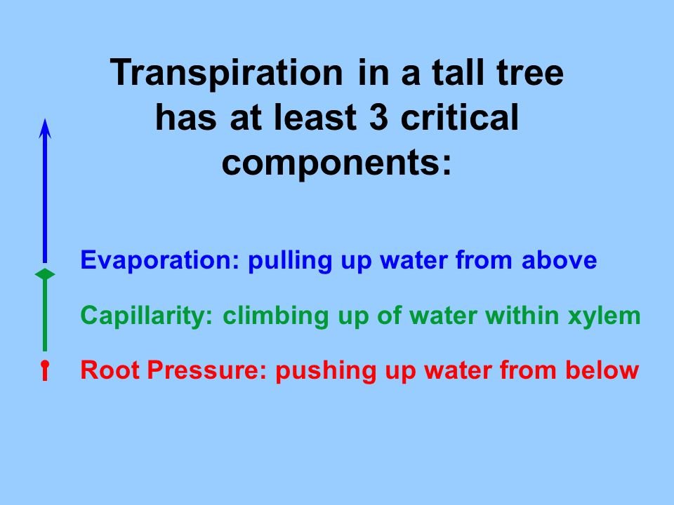 Transpiration in a tall tree has at least 3 critical components: Evaporation: pulling up water from above Capillarity: climbing up of water within xyl
