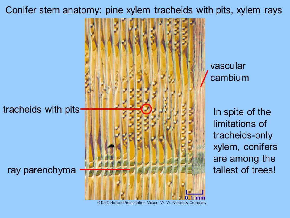 ©1996 Norton Presentation Maker, W. W. Norton & Company Conifer stem anatomy: pine xylem tracheids with pits, xylem rays tracheids with pits ray paren