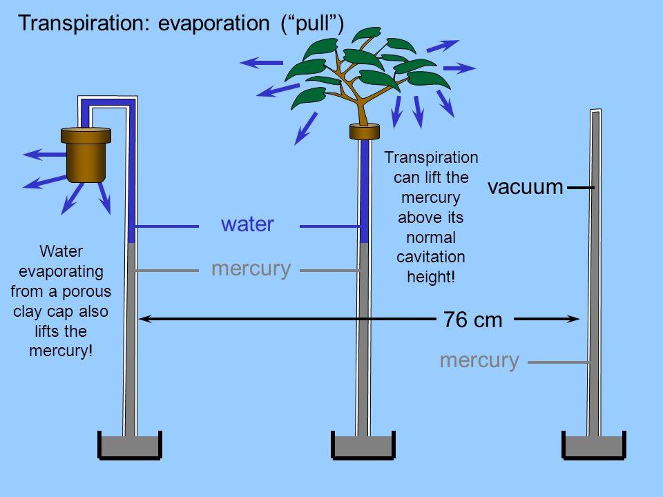 Transpiration: evaporation (pull) 76 cm vacuum mercury water mercury Water evaporating from a porous clay cap also lifts the mercury! Transpiration ca