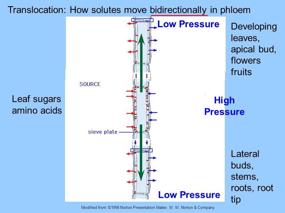 Modified from: ©1996 Norton Presentation Maker, W. W. Norton & Company Translocation: How solutes move bidirectionally in phloem Leaf sugars amino aci