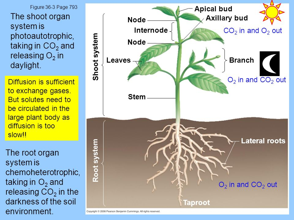 Figure 36-3 Page 793 Branch Root system Shoot system Stem Apical bud Axillary bud Node Leaves Node Internode Lateral roots Taproot The shoot organ system is photoautotrophic, taking in CO 2 and releasing O 2 in daylight.