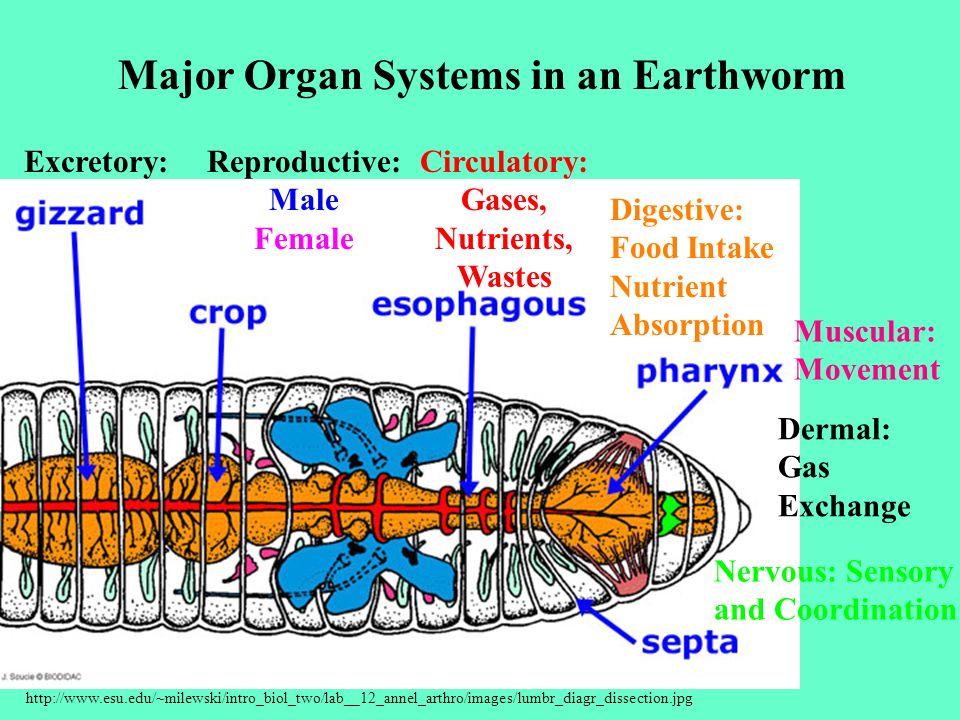 http://www.esu.edu/~milewski/intro_biol_two/lab__12_annel_arthro/images/lumbr_diagr_dissection.jpg Dermal: Gas Exchange Nervous: Sensory and Coordinat