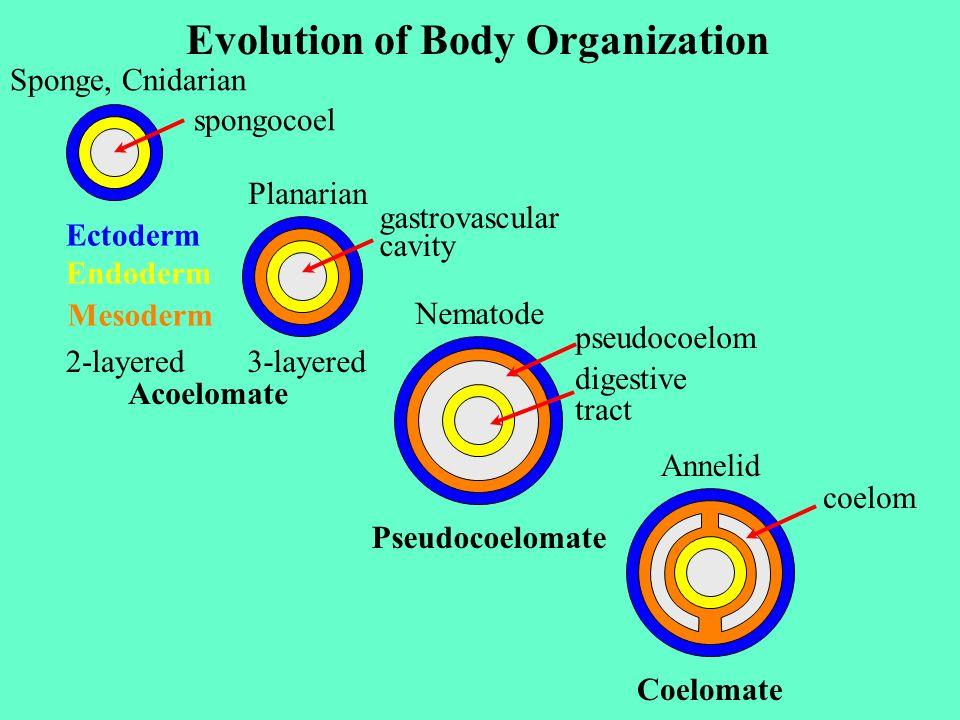 Sponge, Cnidarian Ectoderm Endoderm spongocoel Acoelomate Mesoderm 2-layered Planarian 3-layered gastrovascular cavity Nematode pseudocoelom digestive