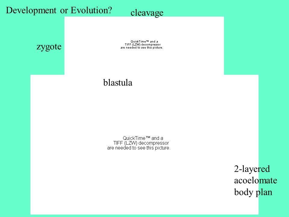 zygote cleavage blastula Development or Evolution? 2-layered acoelomate body plan