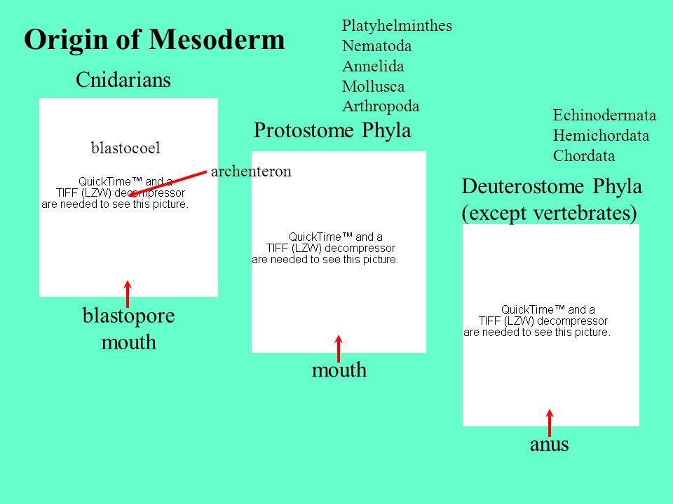 Cnidarians Protostome Phyla Deuterostome Phyla (except vertebrates) Origin of Mesoderm Platyhelminthes Nematoda Annelida Mollusca Arthropoda Echinoder
