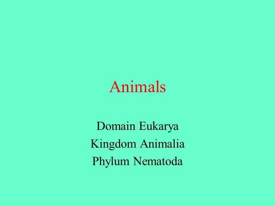 Animals Domain Eukarya Kingdom Animalia Phylum Nematoda