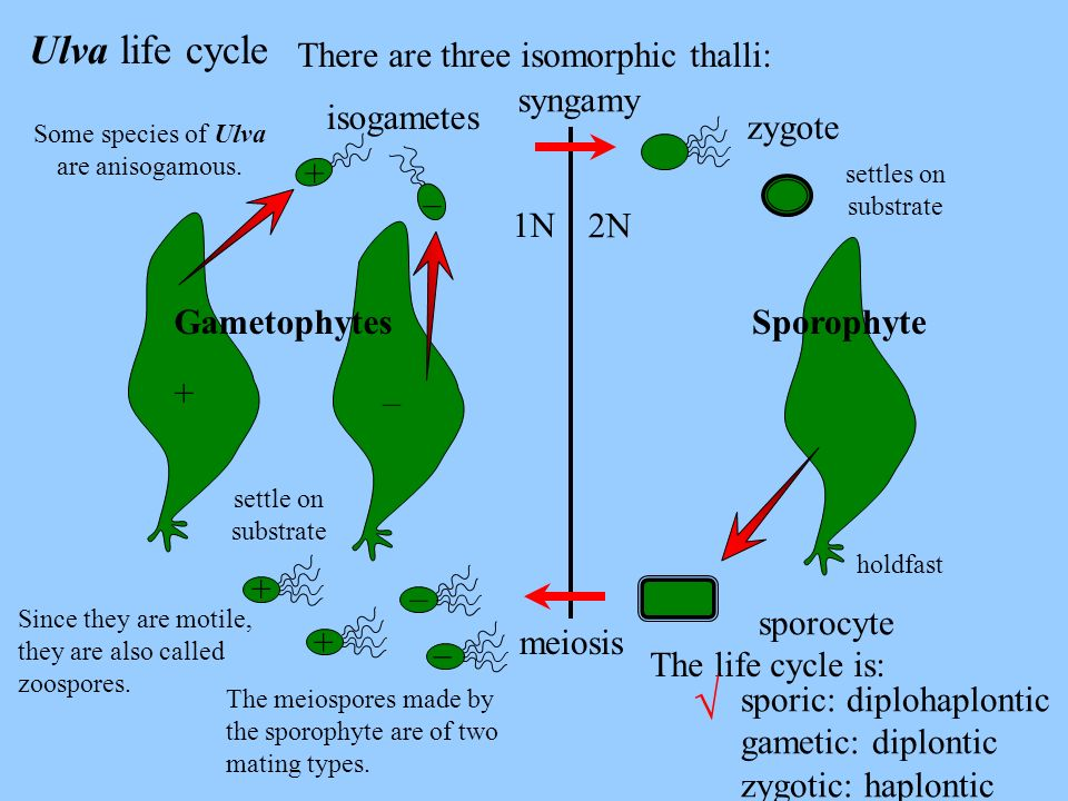 Ulva life cycle There are three isomorphic thalli: Some species of Ulva are anisogamous. Since they are motile, they are also called zoospores. The me