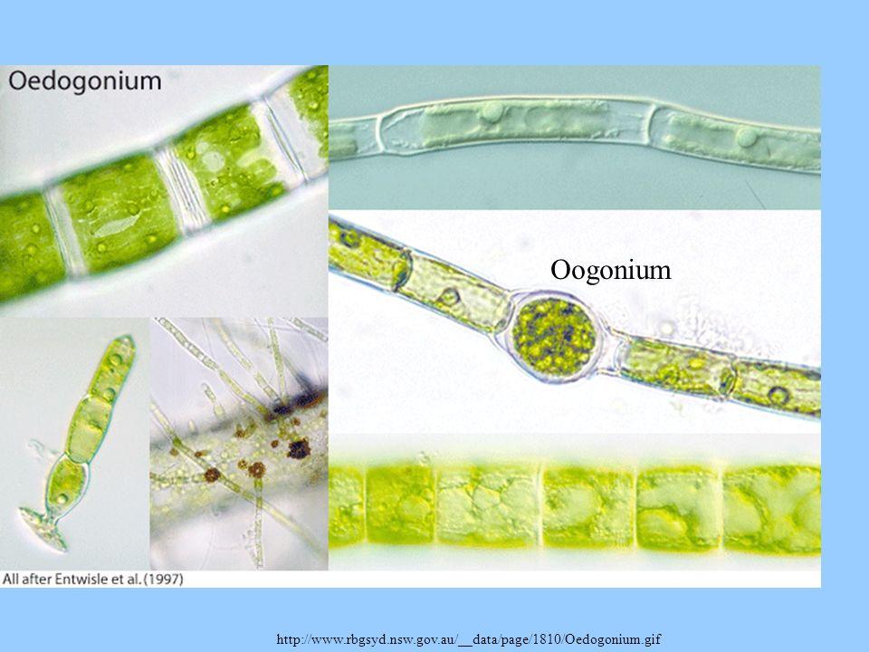 http://www.rbgsyd.nsw.gov.au/__data/page/1810/Oedogonium.gif Oogonium