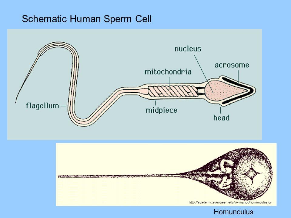 Schematic Human Sperm Cell http://academic.evergreen.edu/v/vivianoc/homunculus.gif Homunculus