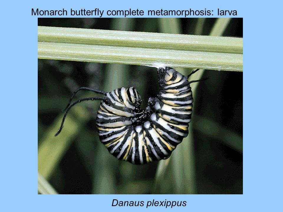 Monarch butterfly complete metamorphosis: larva Danaus plexippus