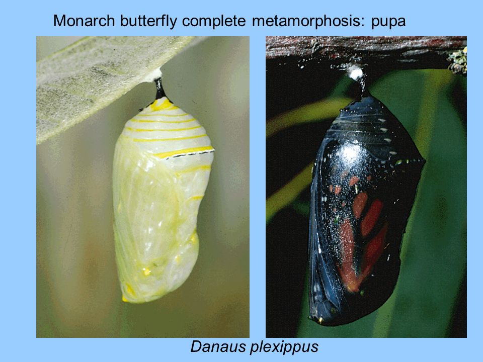 Monarch butterfly complete metamorphosis: pupa Danaus plexippus