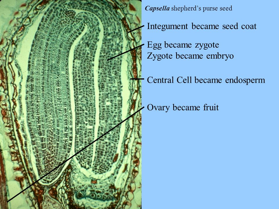 Capsella shepherds purse seed Integument became seed coat Egg became zygote Zygote became embryo Central Cell became endosperm Ovary became fruit