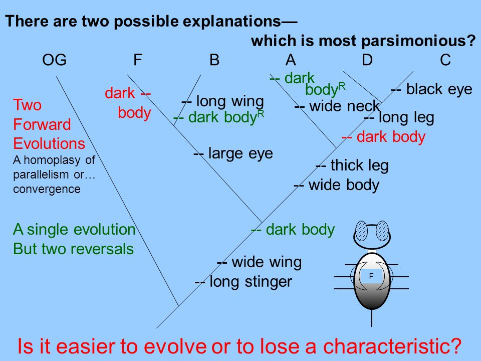 -- wide wing -- long stinger There are two possible explanations which is most parsimonious? -- thick leg -- wide body -- large eye -- long leg -- dar