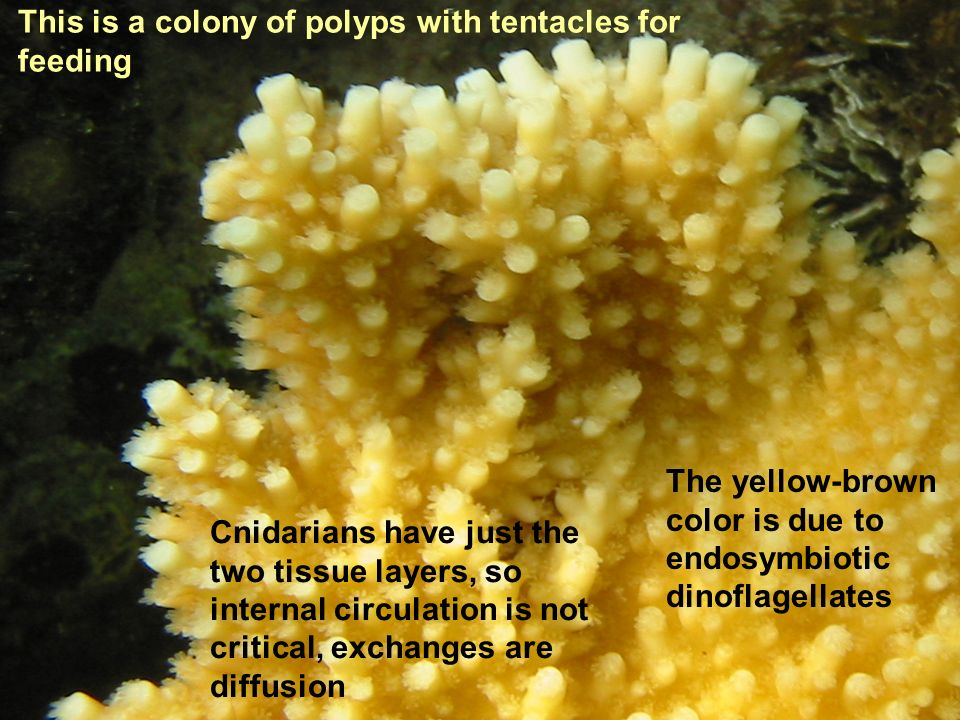 This is a colony of polyps with tentacles for feeding The yellow-brown color is due to endosymbiotic dinoflagellates Cnidarians have just the two tiss