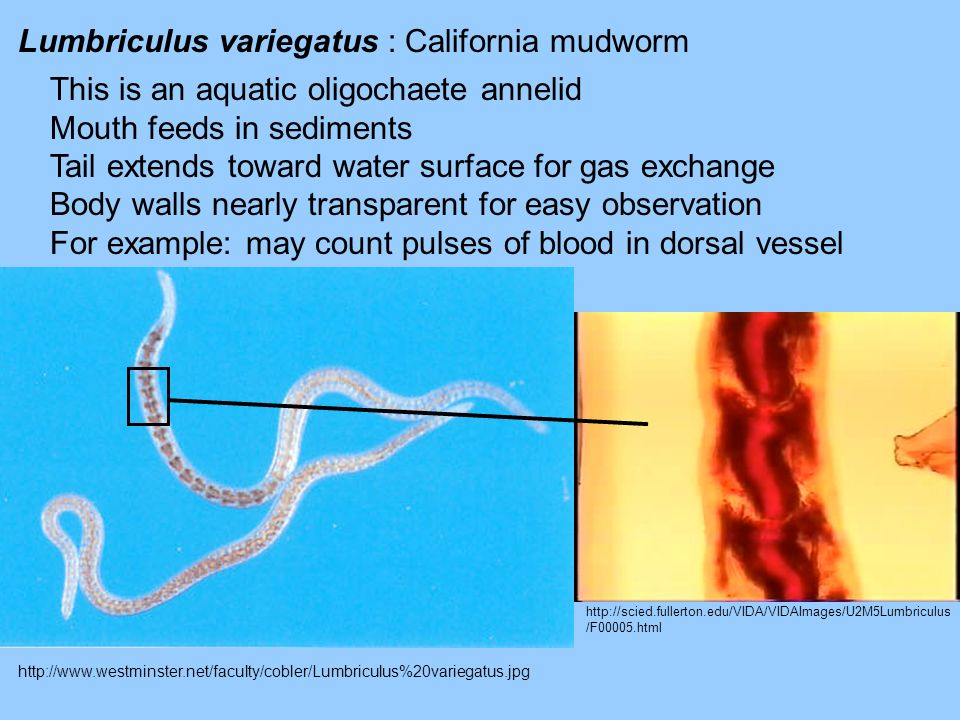 http://www.westminster.net/faculty/cobler/Lumbriculus%20variegatus.jpg Lumbriculus variegatus : California mudworm This is an aquatic oligochaete anne