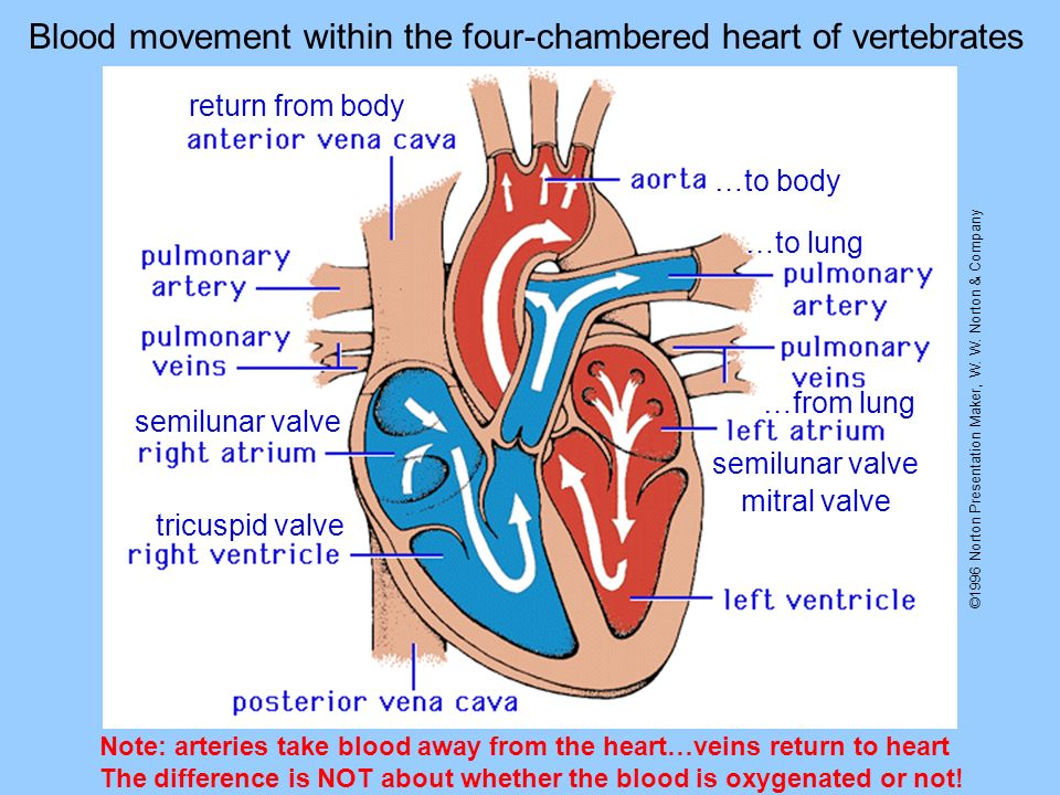 ©1996 Norton Presentation Maker, W. W. Norton & Company Blood movement within the four-chambered heart of vertebrates return from body …to lung …from