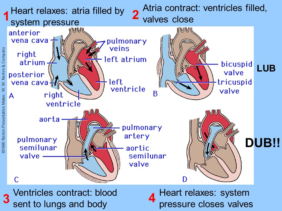 ©1996 Norton Presentation Maker, W. W. Norton & Company Heart relaxes: atria filled by system pressure Atria contract: ventricles filled, valves close