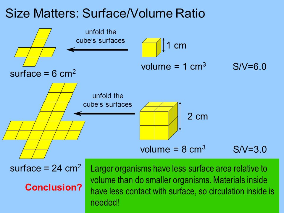 Size Matters: Surface/Volume Ratio volume = 1 cm 3 volume = 8 cm 3 surface = 6 cm 2 surface = 24 cm 2 S/V=6.0 S/V=3.0 Larger organisms have less surfa