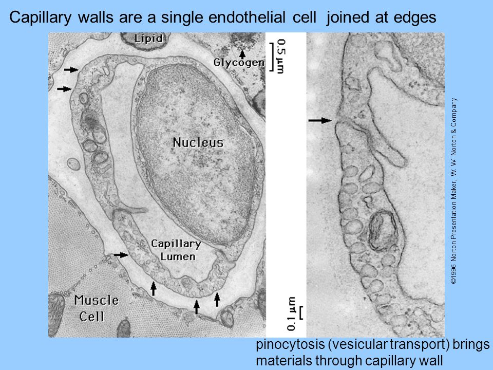 ©1996 Norton Presentation Maker, W. W. Norton & Company Capillary walls are a single endothelial celljoined at edges pinocytosis (vesicular transport)