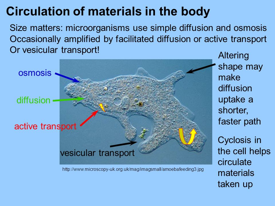 http://www.microscopy-uk.org.uk/mag/imagsmall/amoebafeeding3.jpg Size matters: microorganisms use simple diffusion and osmosis Occasionally amplified