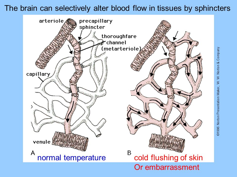 ©1996 Norton Presentation Maker, W. W. Norton & Company The brain can selectively alter blood flow in tissues by sphincters normal temperaturecold flu