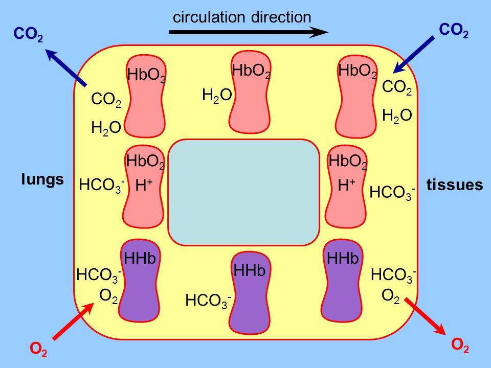 O2 lungs tissues CO 2 H2OH2O HbO 2 H2OH2O O2O2 HHb HCO 3 - HHb O2O2 O2O2 HCO 3 - HbO 2 HCO 3 - H+H+ CO 2 H2OH2O HbO 2 CO 2 HbO 2 HCO 3 - H+H+ CO 2 O2O