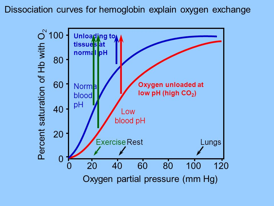 Percent saturation of Hb with O 2 100 80 60 40 20 0 Normal blood pH Oxygen partial pressure (mm Hg) 0 20 40 60 80 100 120 Low blood pH Unloading to ti