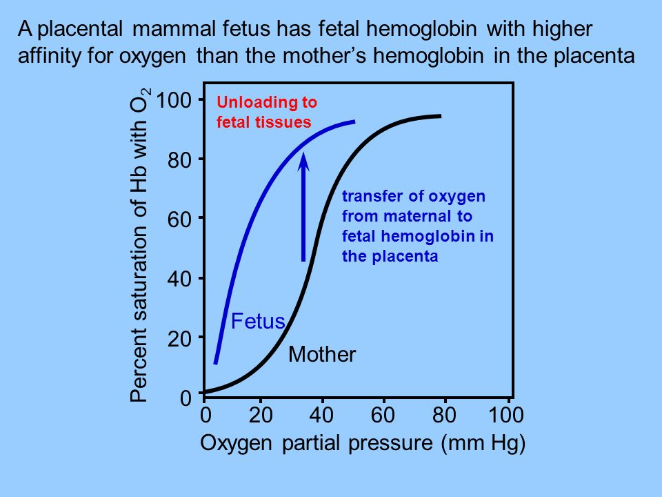A placental mammal fetus has fetal hemoglobin with higher affinity for oxygen than the mothers hemoglobin in the placenta Percent saturation of Hb wit
