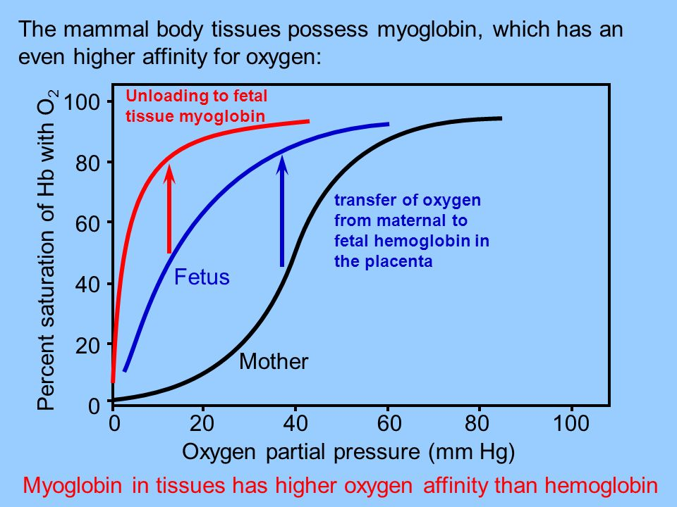 The mammal body tissues possess myoglobin, which has an even higher affinity for oxygen: Myoglobin in tissues has higher oxygen affinity than hemoglob