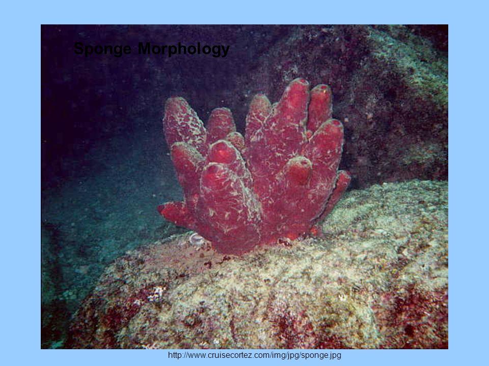 http://www.cruisecortez.com/img/jpg/sponge.jpg Sponge Morphology
