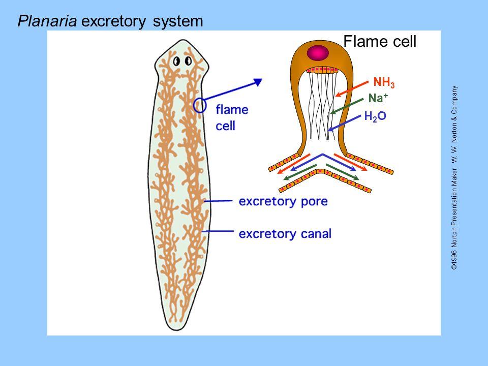 ©1996 Norton Presentation Maker, W. W. Norton & Company Flame cell NH 3 Na + H2OH2O Planaria excretory system