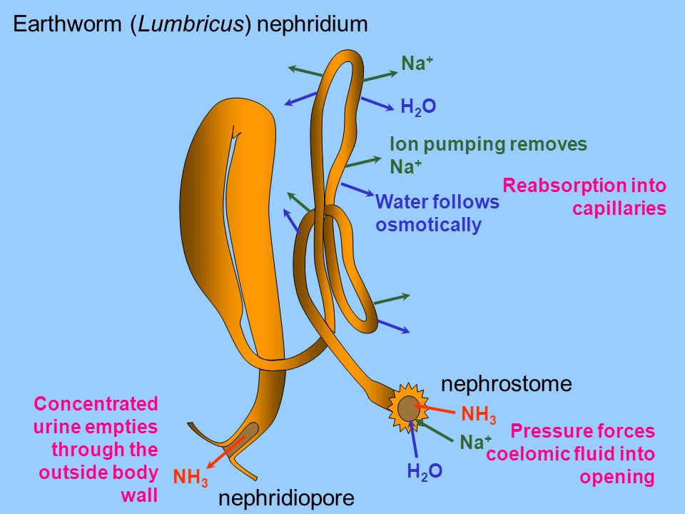 Pressure forces coelomic fluid into opening Ion pumping removes Na + Na + Water follows osmotically H2OH2O H2OH2O Na + NH 3 Concentrated urine empties