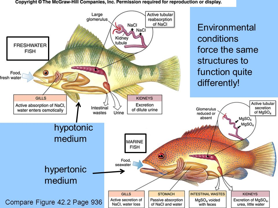 hypertonic medium hypotonic medium Environmental conditions force the same structures to function quite differently! Compare Figure 42.2 Page 936