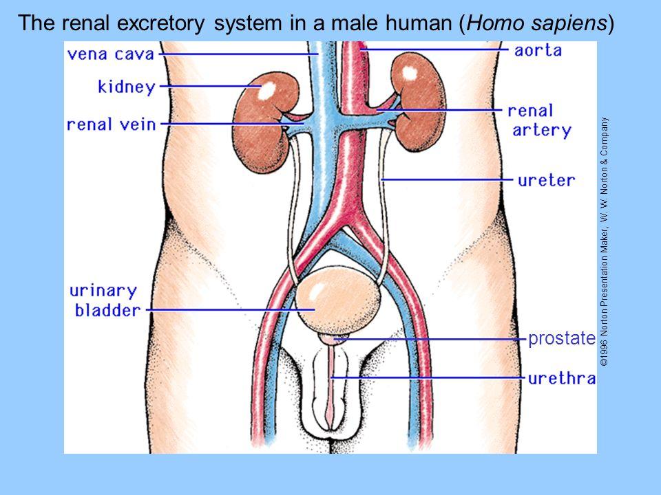 ©1996 Norton Presentation Maker, W. W. Norton & Company prostate The renal excretory system in a male human (Homo sapiens)