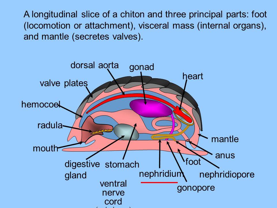 mouth radula valve plates gonad heart mantle anus foot digestive gland nephridium stomach ventral nerve cord (not shown) A longitudinal slice of a chi