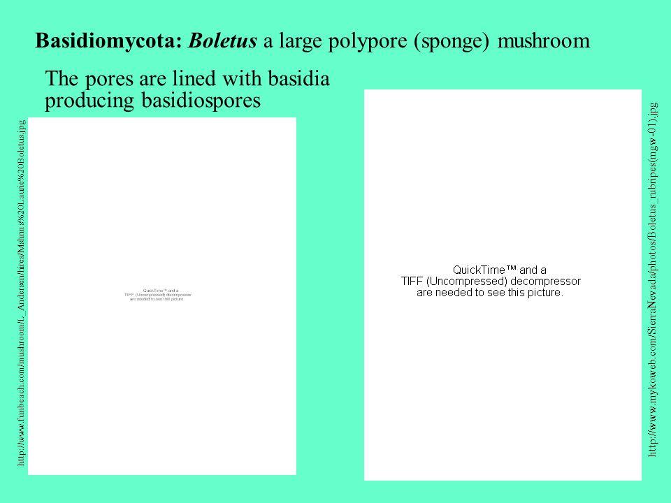 http://www.funbeach.com/mushroom/L_Andersen/hires/Mshrms%20Laurie%20Boletus.jpg http://www.mykoweb.com/SierraNevada/photos/Boletus_rubripes(mgw-01).jpg Basidiomycota: Boletus a large polypore (sponge) mushroom The pores are lined with basidia producing basidiospores