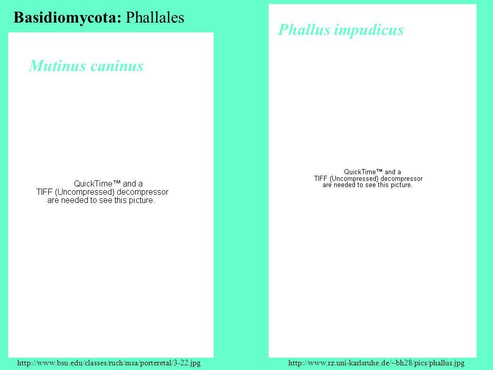 http://www.bsu.edu/classes/ruch/msa/porteretal/3-22.jpghttp://www.rz.uni-karlsruhe.de/~bh28/pics/phallus.jpg Mutinus caninus Phallus impudicus Basidiomycota: Phallales