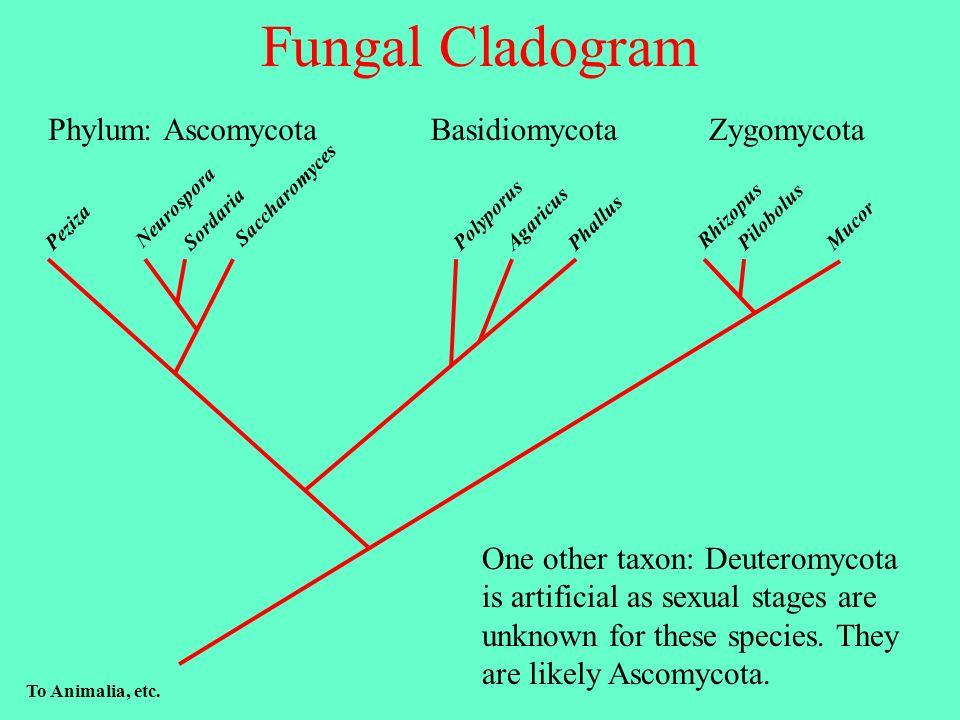 Fungal Cladogram PilobolusPeziza Phallus Agaricus Mucor Rhizopus Saccharomyces Sordaria Polyporus Neurospora To Animalia, etc.