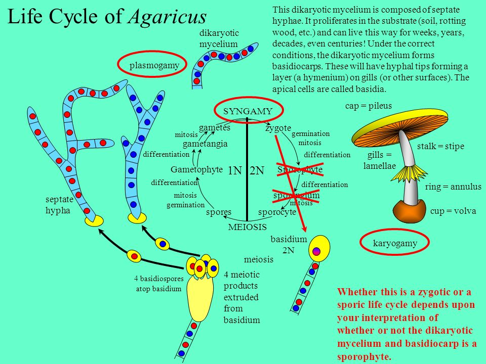 Life Cycle of Agaricus septate hypha 4 meiotic products extruded from basidium SYNGAMY zygote SporophyteGametophyte sporangium sporocyte spores gametangia gametes germination mitosis differentiation mitosis germination mitosis 1N 2N differentiation MEIOSIS Whether this is a zygotic or a sporic life cycle depends upon your interpretation of whether or not the dikaryotic mycelium and basidiocarp is a sporophyte.