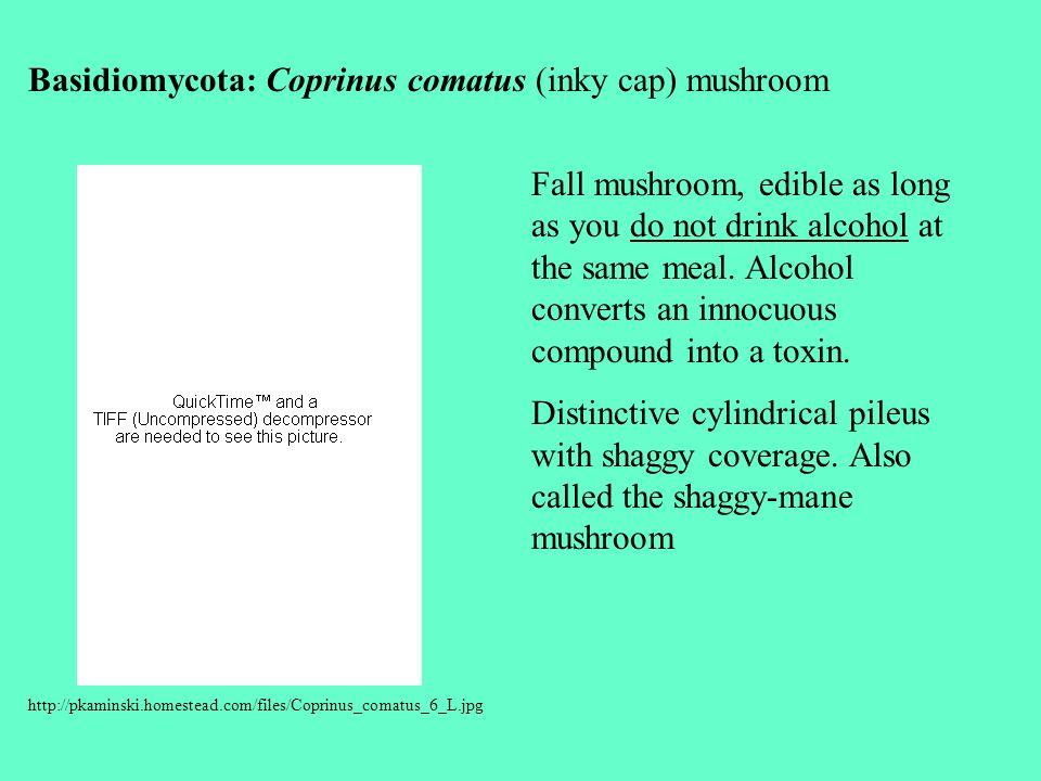 http://pkaminski.homestead.com/files/Coprinus_comatus_6_L.jpg Basidiomycota: Coprinus comatus (inky cap) mushroom Fall mushroom, edible as long as you do not drink alcohol at the same meal.