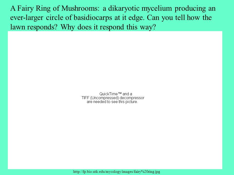 http://fp.bio.utk.edu/mycology/images/fairy%20ring.jpg A Fairy Ring of Mushrooms: a dikaryotic mycelium producing an ever-larger circle of basidiocarps at it edge.