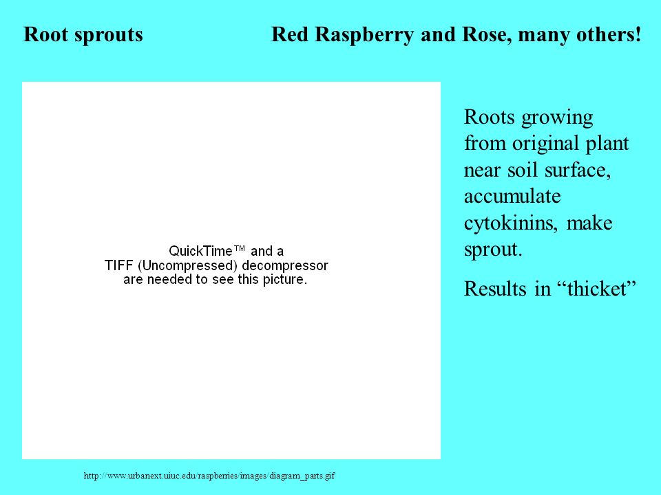 http://www.urbanext.uiuc.edu/raspberries/images/diagram_parts.gif Root sproutsRed Raspberry and Rose, many others! Roots growing from original plant n