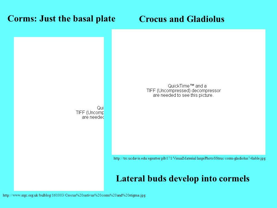 http://www.srgc.org.uk/bulblog/161003/Crocus%20sativus%20corm%20and%20stigma.jpg http://trc.ucdavis.edu/egsutter/plb171/VisualMaterial/largePhotoSStru