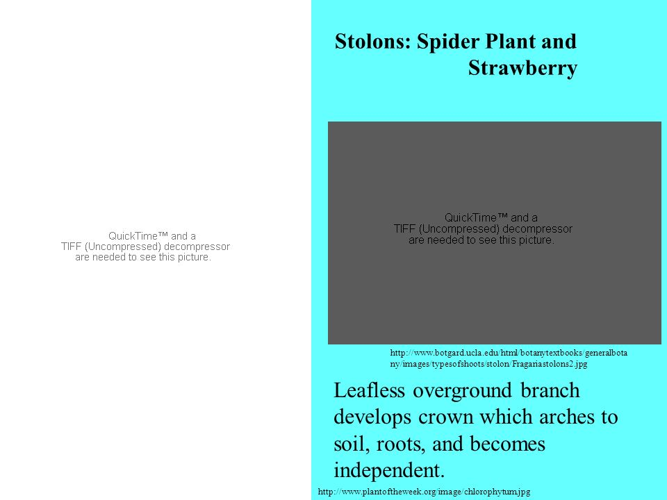 http://www.plantoftheweek.org/image/chlorophytum.jpg http://www.botgard.ucla.edu/html/botanytextbooks/generalbota ny/images/typesofshoots/stolon/Fraga