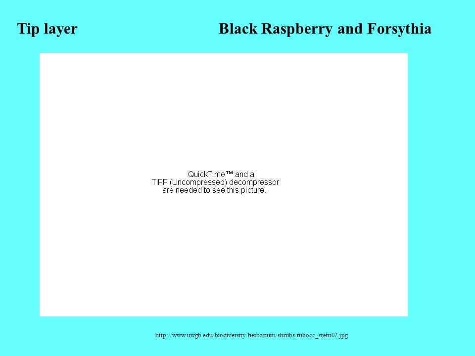 http://www.uwgb.edu/biodiversity/herbarium/shrubs/rubocc_stem02.jpg Tip layerBlack Raspberry and Forsythia