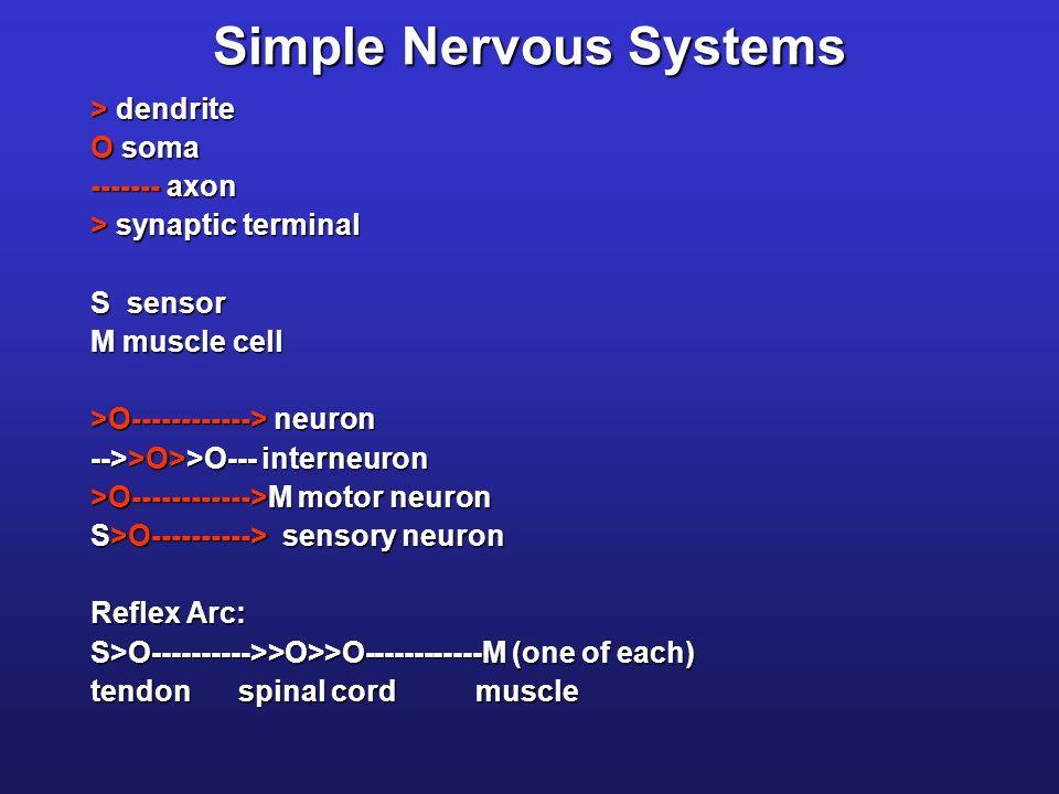 Simple Nervous Systems > dendrite O soma ------- axon > synaptic terminal S sensor M muscle cell >O------------> neuron -->>O>>O--- interneuron >O------------>M motor neuron S>O----------> sensory neuron Reflex Arc: S>O---------->>O>>O------------M (one of each) tendon spinal cord muscle