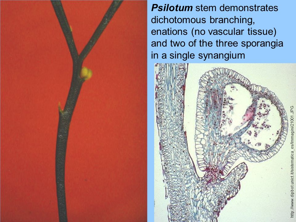 Psilotum stem demonstrates dichotomous branching, enations (no vascular tissue) and two of the three sporangia in a single synangium http://www.dipbot