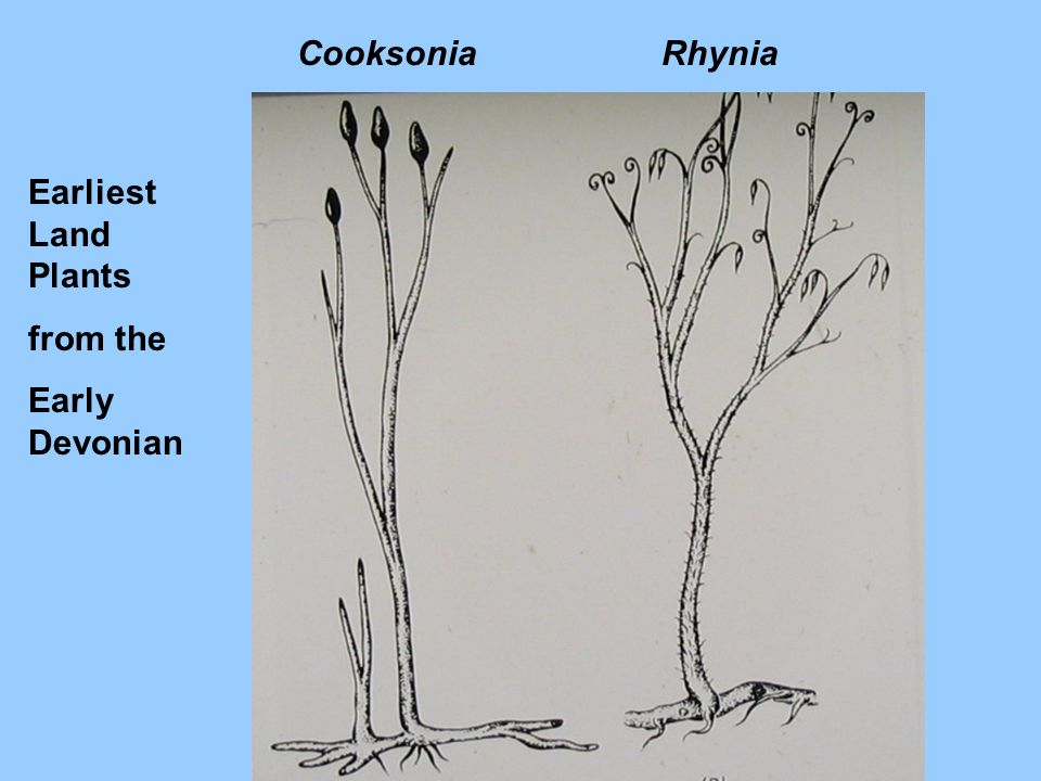 RhyniaCooksonia Earliest Land Plants from the Early Devonian